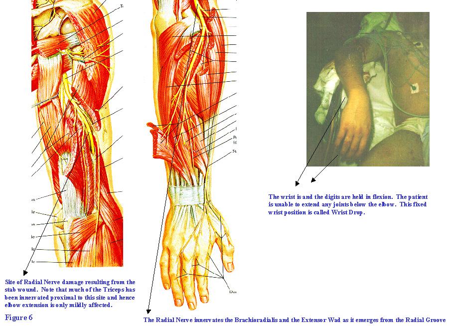 Forearm Nerve Anatomy Choice Image - human body anatomy